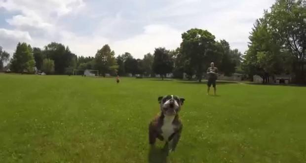bulldog-takes-down-drone