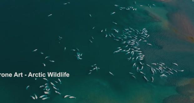 drone-beluga-whales-arctic
