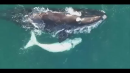 Drone Captures Rare White Whale Calf