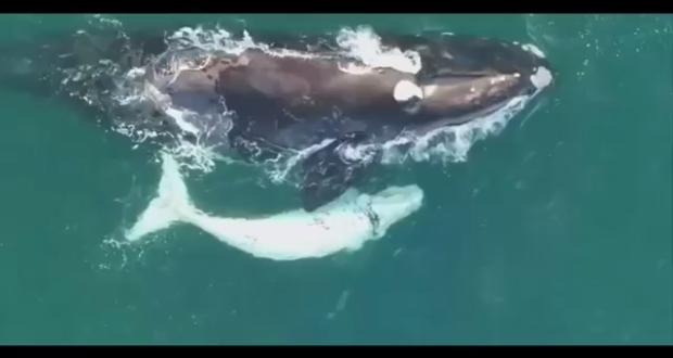 drone-white-whale-calf