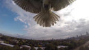 Pissed Hawk Attacks Drone!