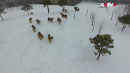 Siberian Tigers Hunts Down Drone