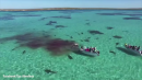 70 Tiger Sharks Eating a Dead Whale