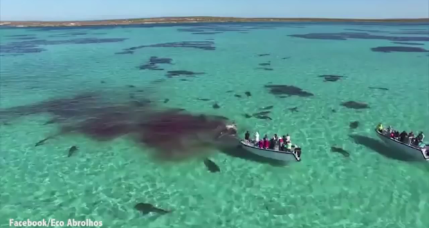 tiger-sharks-eating-dead-whale-drone