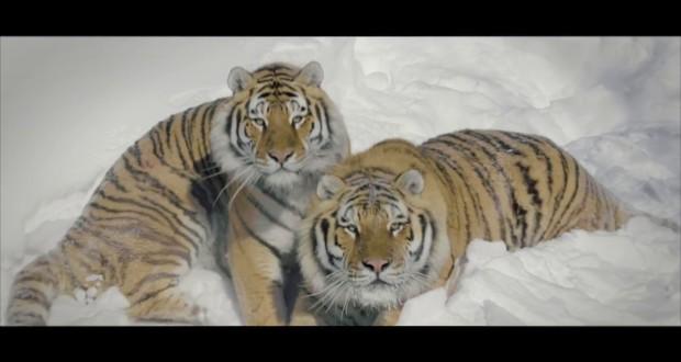 tigers-vs-drone